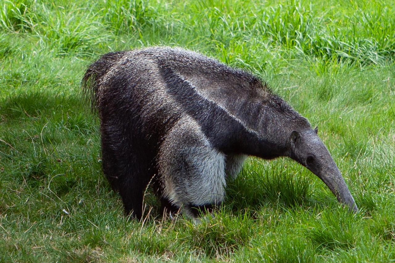 Difference Between Pangolin and Anteater