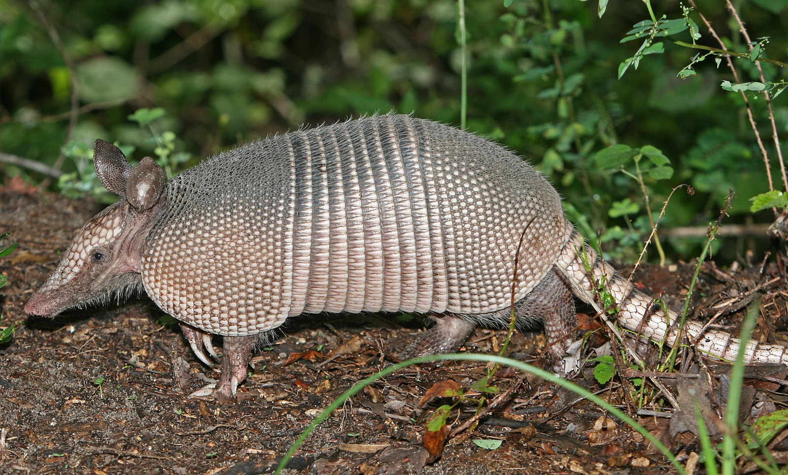 Difference Between Armadillo and Anteater