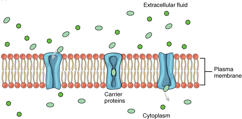 Difference Between Channel and Carrier Proteins