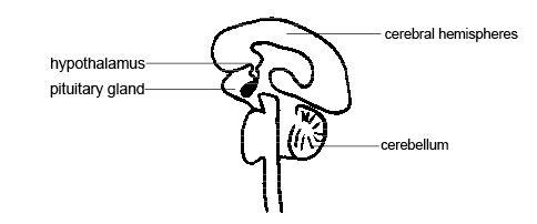 Difference between Amygdala and Hypothalamus