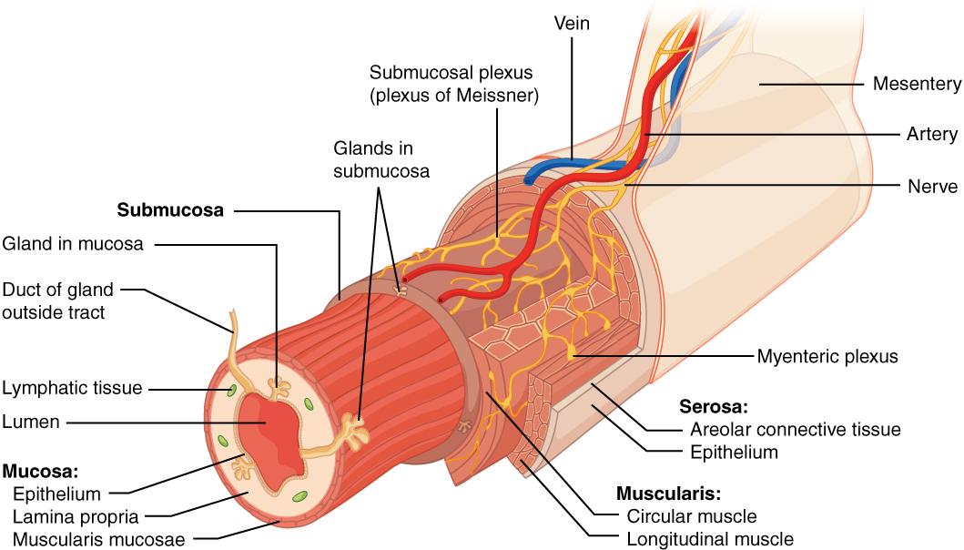 Difference Between Hemoptysis and Hematemesis