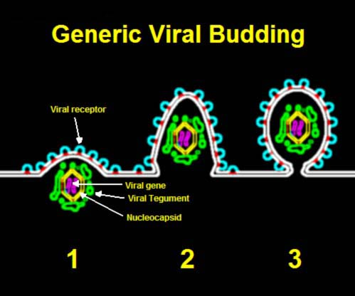 Difference Between Viral Shedding and Viral Load