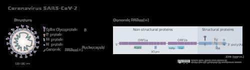 Difference Between Coronaviruses - Alpha, Beta, Gamma, and Delta