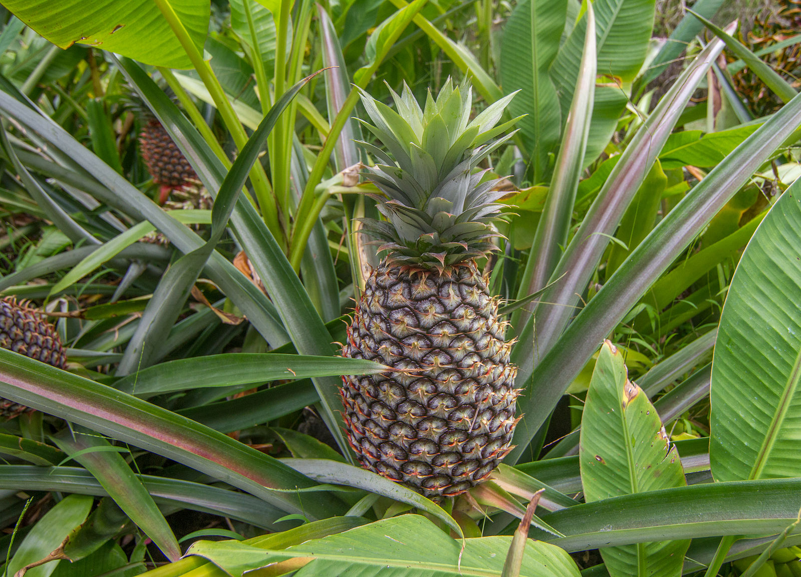 Difference between Ananas and Pineapple
