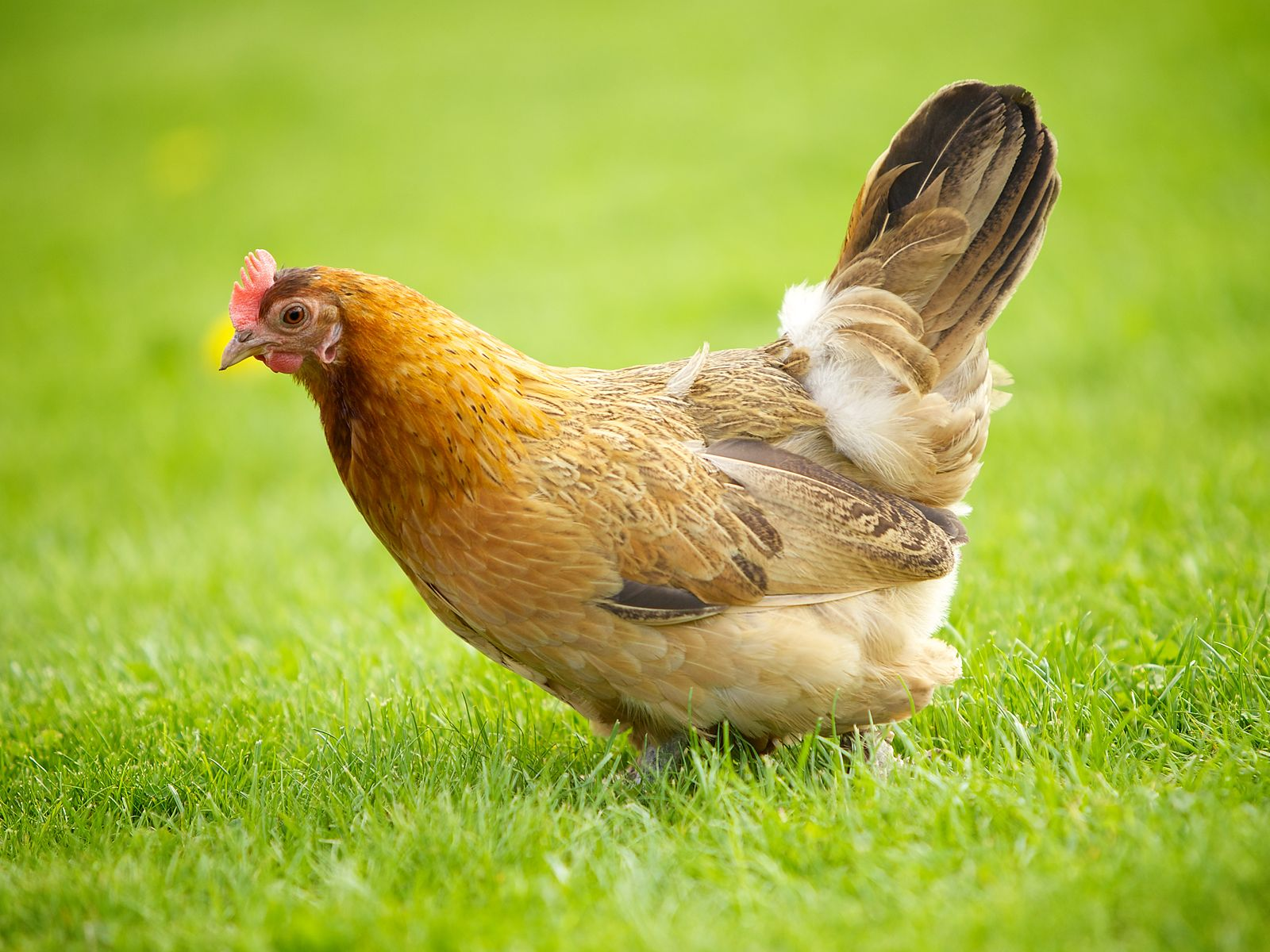 Difference Between Chicken and Hen